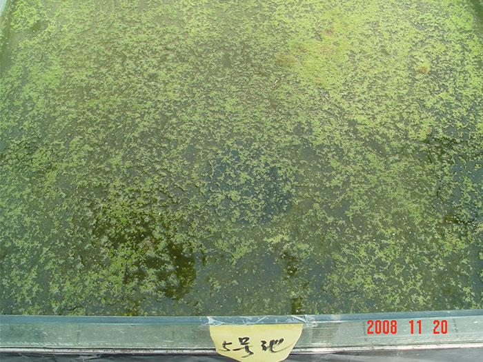 泼洒肥水菌的试验池