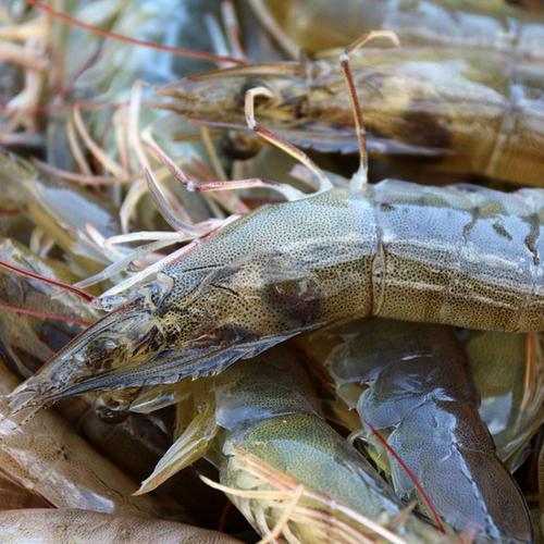 促进虾类消化