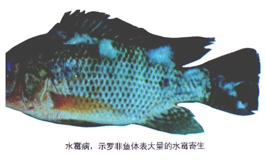 1、水霉病(示罗非鱼体表大量的水霉寄生)