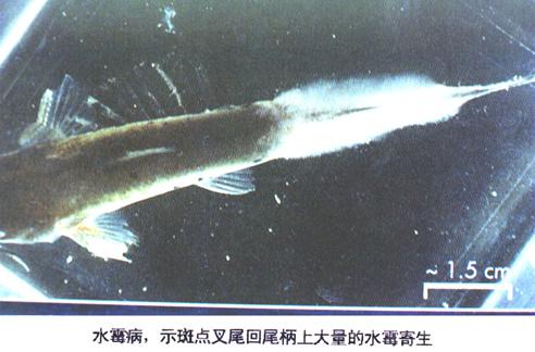 2、水霉病(示斑点叉尾回尾柄上大量的水霉寄生)